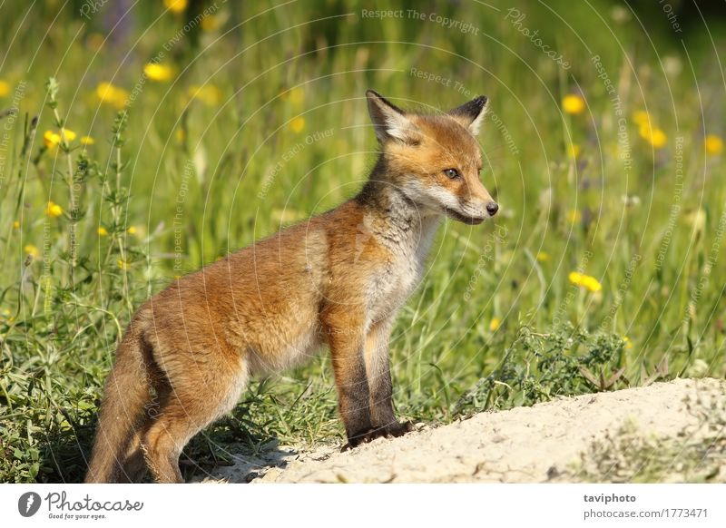red fox baby near the den Beautiful Face Baby Environment Nature Animal Grass Fur coat Dog Baby animal Small Natural Cute Wild Brown Green Red vulpes wildlife