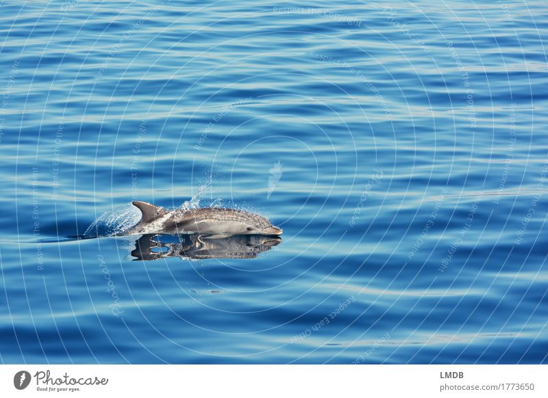 dolphin Stop Motion 2 Environment Nature Waves Ocean Animal Wild animal Dolphin 1 Swimming & Bathing Dive Elegant Free Blue Joy Happiness