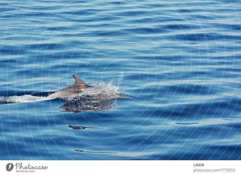 dolphin Stop Motion 4 Environment Nature Waves Ocean Animal Wild animal Dolphin 1 Swimming & Bathing Dive Elegant Free Blue Joy Happiness