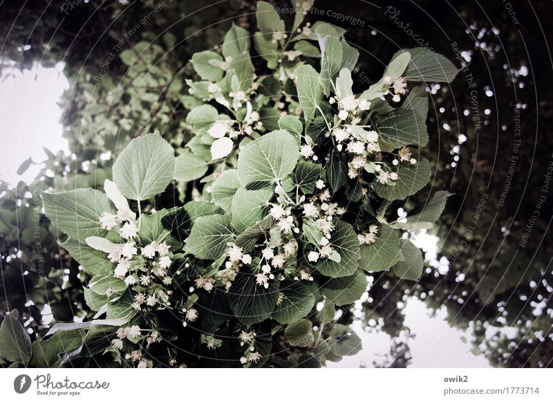 Lindes Green Environment Nature Plant Tree Leaf Blossom Lime tree Lime flower Blossoming Growth Fragrance Natural Above Many Spring fever Idyll Rachis