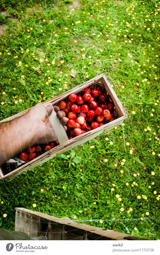 fruit basket Leisure and hobbies Masculine Hand Underarm Environment Nature Plant Summer Beautiful weather Grass Cherry Basket To hold on Ladder Rung Fruit