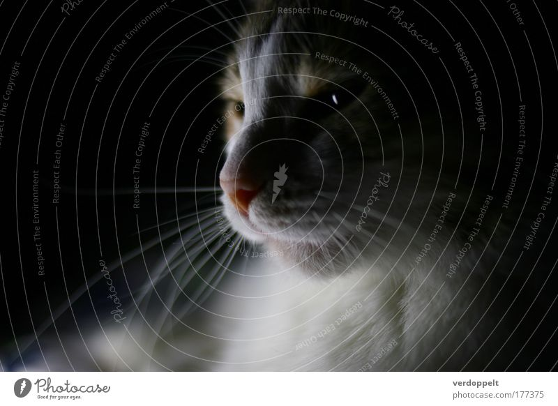 sphinx Cat White Animal Lamp Nose Soft Mysterious Cozy Africa Pet Home Puzzle Direction Comfortable Mystery Egypt