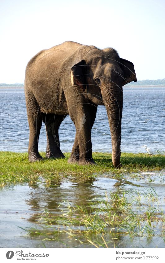 Young elephant on a safari in a national park Vacation & Travel Safari Wild animal Elegant Elephant skin To feed Feeding animals Asian Sri Lanka river gray