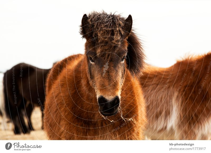 Portrait of an Icelandic pony with a brown mane Ride Vacation & Travel Tourism Far-off places Freedom Winter Winter vacation Farm animal Horse Iceland pony