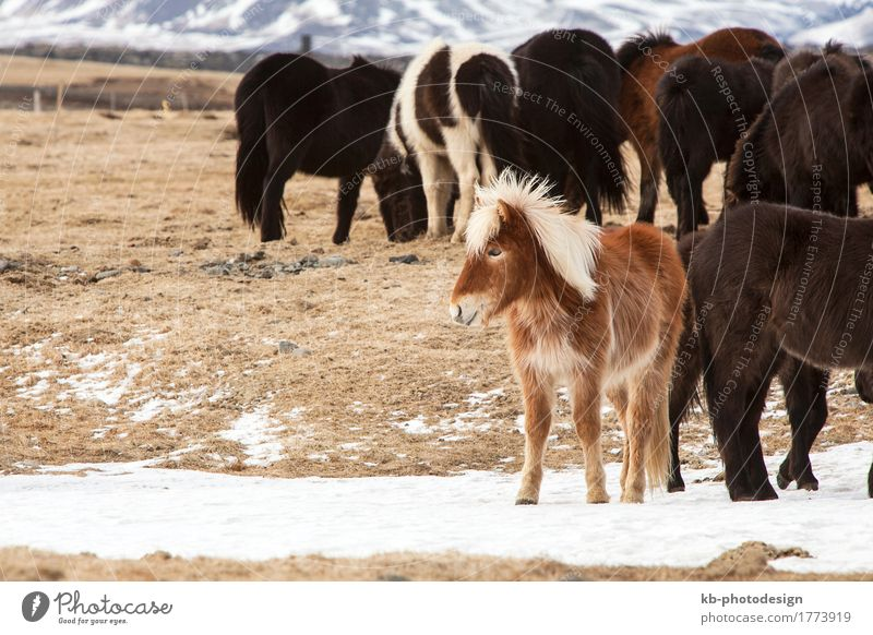 Herd of colorful Icelandic horses on a meadow Ride Vacation & Travel Tourism Far-off places Freedom Winter Snow Winter vacation Pet Horse Iceland pony