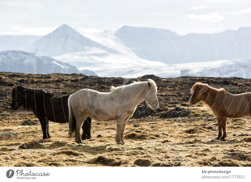 Herd of Icelandic horses in spring in front of snowy mountains Ride Vacation & Travel Tourism Adventure Winter Landscape Icelandic pony Icelandic ponies food