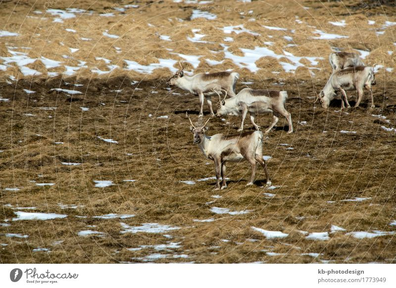Reindeer in Iceland Vacation & Travel Tourism Adventure Far-off places Winter Nature Wild animal Herd mammal free panorama blue wilderness Colour photo