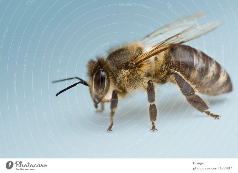 apis mellifera Colour photo Studio shot Macro (Extreme close-up) Copy Space left Artificial light Worm's-eye view Animal portrait Wild animal Bee Insect
