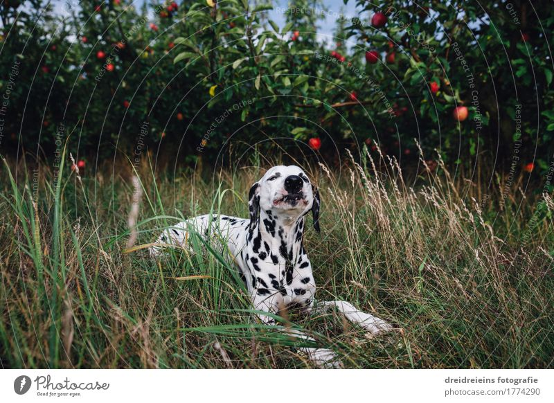 Dalmatian lies in the grass and eats an apple Animal Pet Dog 1 Eating Lie Sit Brash Friendliness Happy Natural Green Contentment Joie de vivre (Vitality) Senses