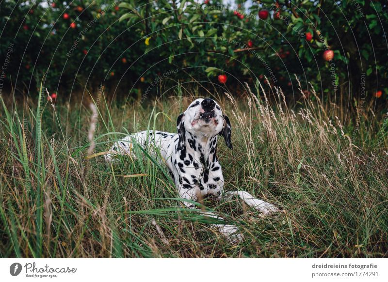 Dog on apple plantation Animal Pet 1 Eating To enjoy Lie Sit Brash Friendliness Delicious Natural Green Happy Contentment Joie de vivre (Vitality) Voracious