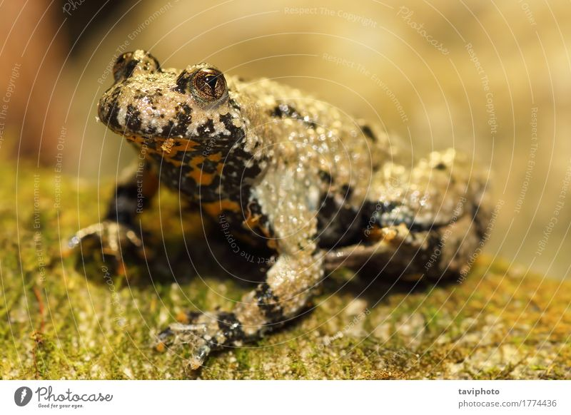 yellow bellied toad Skin Garden Nature Landscape Animal Moss Forest Pond Wild animal Sit Brown Yellow Toad frog bombina variegata amphibian wildlife