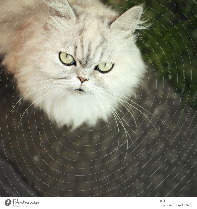 White Eyes Animal Cat Animal face Observe Pelt Curiosity Listening