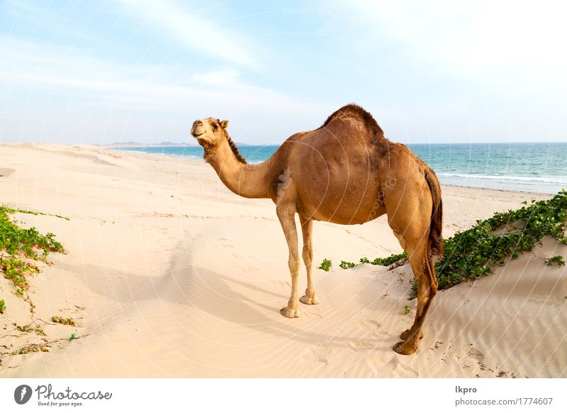 desert a free dromedary near the sea Sky Nature Vacation & Travel Plant Summer White Ocean Animal Beach Black Eating Gray Brown Sand Tourism Wild