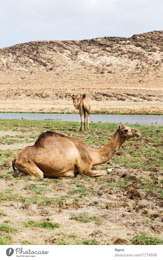 desert a free dromedary near the sea Vacation & Travel Tourism Safari Nature Plant Animal Sand Sky Lake Hot Wild Brown Gray Black White Asia Arabia arid Beast