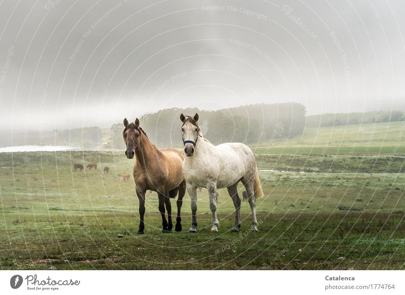 friendship Ride Nature Landscape Plant Animal Sky Summer Fog eucalyptus forest Meadow Forest Lake Horse 2 Observe Esthetic Speed Beautiful Brown Gray Green