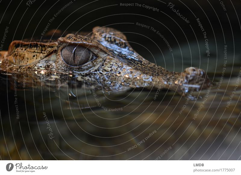 Crocodile - II Environment Animal Water Wild animal 1 Exotic Curiosity Black Dangerous Reptiles Alligator Observe Threat Fear Disgust Surface of water Scales