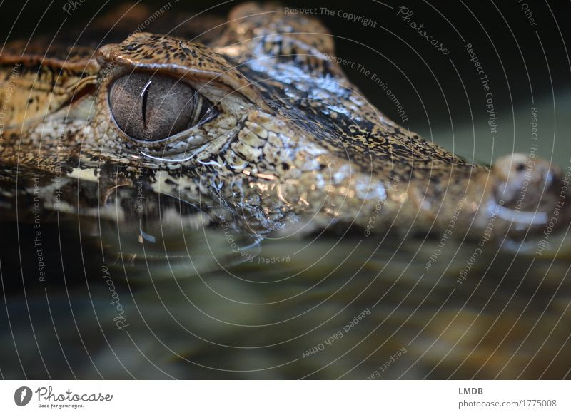 Crocodile - III Animal Water Wild animal Scales 1 Threat Exotic Dangerous Alligator Reptiles Observe Fear Disgust Pupil Water reflection Colour photo Close-up