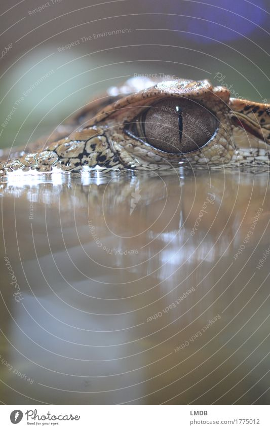 Crocodile - IV Environment Animal Water Wild animal Scales Zoo 1 Exotic Pupil Alligator Threat Observe Reptiles Colour photo Detail Copy Space top