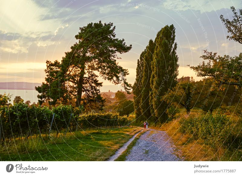 Tuscany atmosphere at Lake Constance Summer Summer vacation Sun Hiking Environment Nature Landscape Sunrise Sunset Sunlight Autumn Beautiful weather Plant Tree