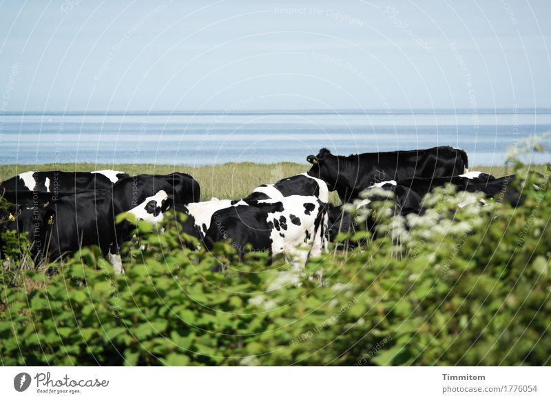 Together. Vacation & Travel Environment Nature Plant Animal Water Grass Bushes North Sea Denmark Farm animal Cow Group of animals Stand Blue Green Black White