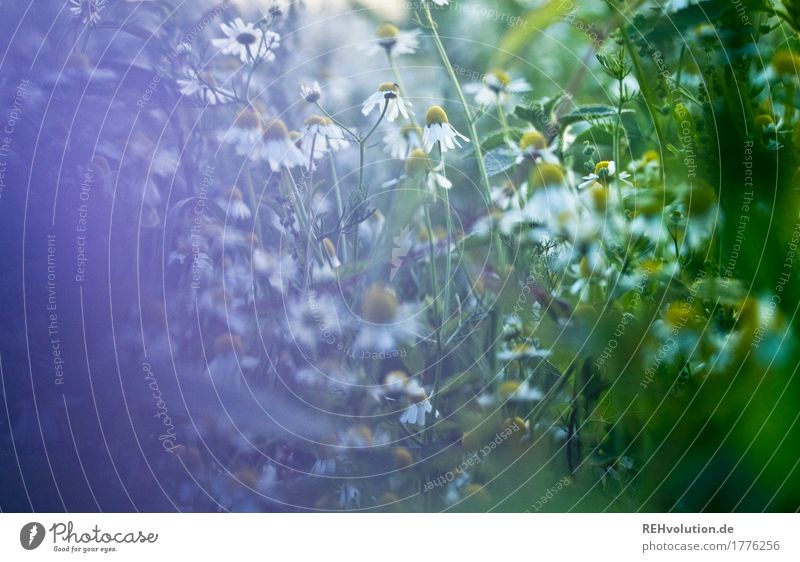 Chamomile in the evening Environment Nature Plant Flower Meadow Field Blossoming Herbs and spices Healthy Violet Natural Growth Wild Weed Colour photo