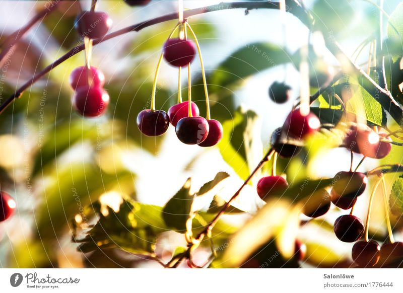 Cherry, cherry! Fruit Nutrition Organic produce Vegetarian diet Environment Nature Plant Summer Beautiful weather Tree Leaf Garden Delicious Juicy Sour Sweet