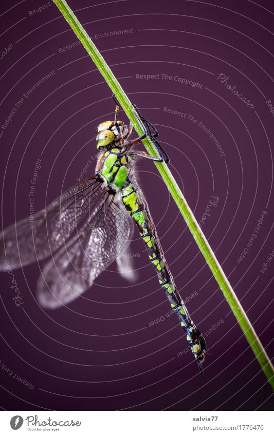 keep one's composure Nature Animal Stalk Bog Marsh Wing Insect Dragonfly wings Big dragonfly 1 To hold on Green Esthetic Power Blue-green Mosaic Maidenfly