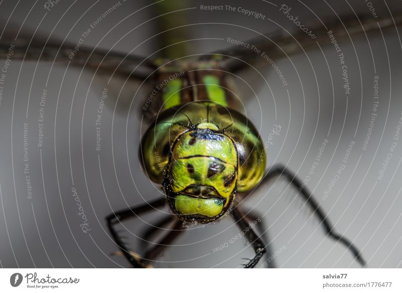 poker face Nature Animal Bog Marsh Animal face Wing Dragonfly Insect Compound eye 1 Hunting Exceptional Threat Cool (slang) Near Speed Gray Green Watchfulness