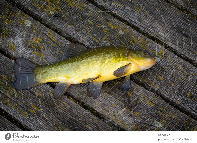 tench Fishing (Angle) Animal Lake Wild animal Scales freshwater fish 1 Wood Fresh Wet Slimy Yellow Gray Green Good luck fishing! Footbridge Chopping board
