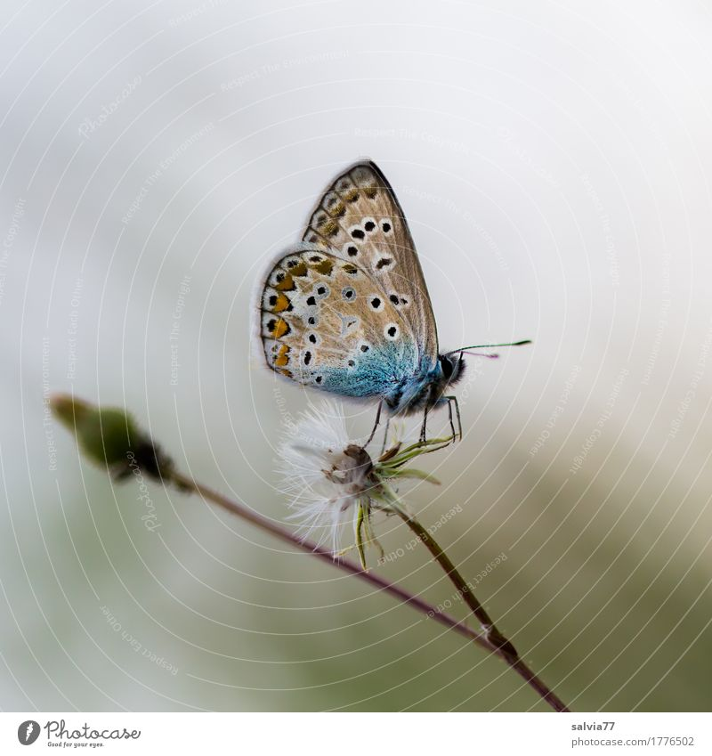 foggy grey Nature Summer Autumn Plant Blossom Wild plant Thistle blossom Animal Butterfly Wing Polyommatinae Insect 1 Blue Brown Gray Uniqueness Ease Break Calm