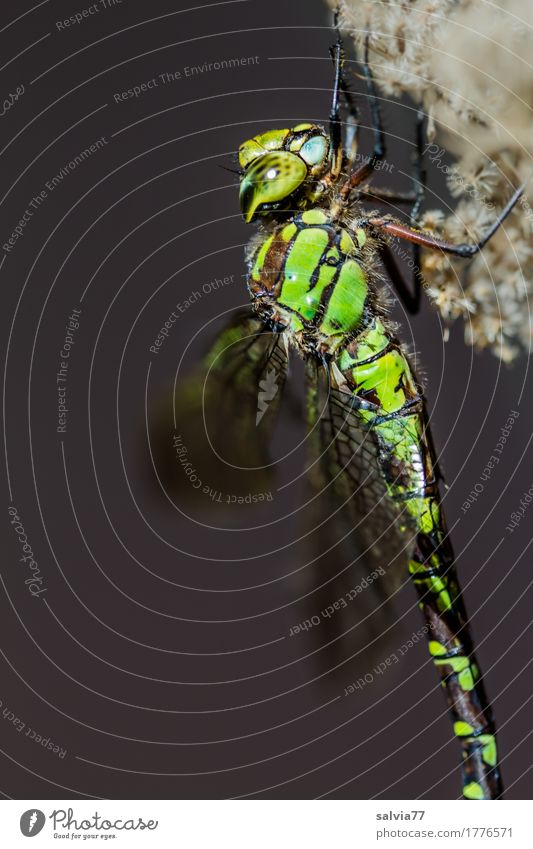 Mosaic Maidweed Nature Animal Bog Marsh Animal face Wing Dragonfly Dragonfly wings Insect Big dragonfly 1 Gray Green Compound eye Colour photo Exterior shot