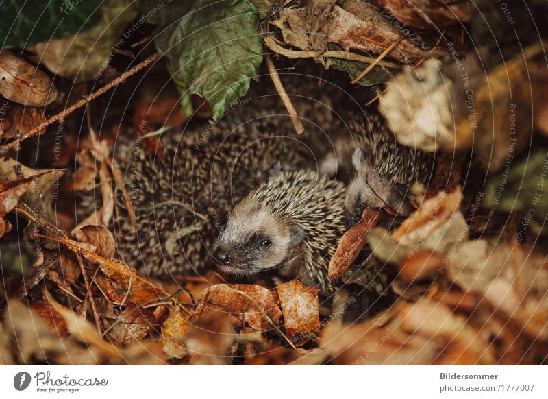 . Nature Animal Autumn Ice Frost Leaf Garden Park Meadow Wild animal Hedgehog 1 4 Group of animals Baby animal Observe Looking Sleep Growth Cute Thorny Brown