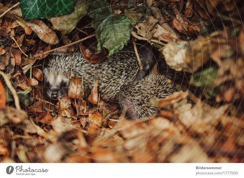 Hedgehog litter Nature Animal Autumn Leaf Garden Meadow Wild animal hedgehog baby 4 Group of animals Baby animal Animal family Growth Brown Green