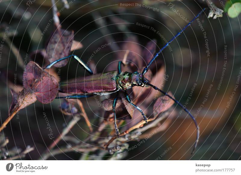 The Great Oakbuck, Haspelmoor Colour photo Exterior shot Close-up Macro (Extreme close-up) Animal portrait Full-length Environment Beetle 1 Crawl Sit