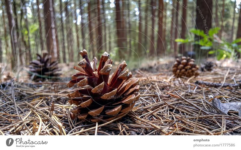 Fallen Pine Cones on the Ground Nature Plant Tree Forest Natural Brown Seasons Conifer Fir cone