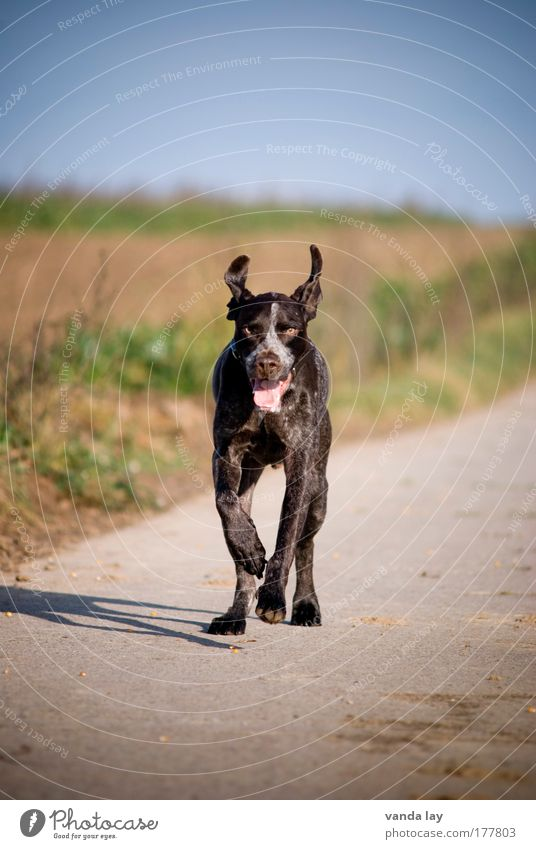 Joy Animal Environment Landscape Happy Dog Field Running Speed Ear Beautiful weather Hunting Pet Hunter Hound Animal training