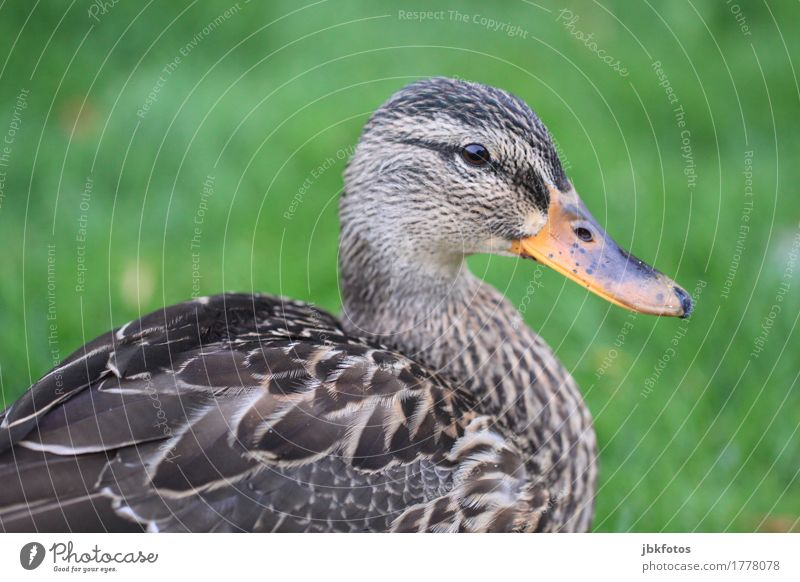 lame duck portrait Food Nutrition Environment Nature Animal Farm animal Wild animal Bird 1 Joie de vivre (Vitality) Mallard Beak Eyes Feather Green