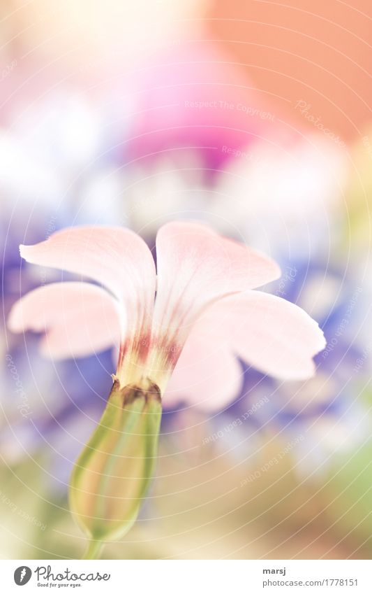 Inconspicuous Life Harmonious Well-being Plant Summer Flower Blossom Blossoming Illuminate Authentic Simple Elegant Pastel tone Delicate Colour photo