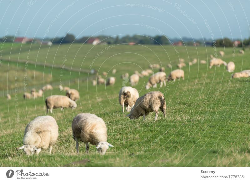 Lawn mowing in Northern Germany Nature Landscape Plant Animal Sky Cloudless sky Summer Beautiful weather Grass Coast North Sea Dike Farm animal Flock Sheep