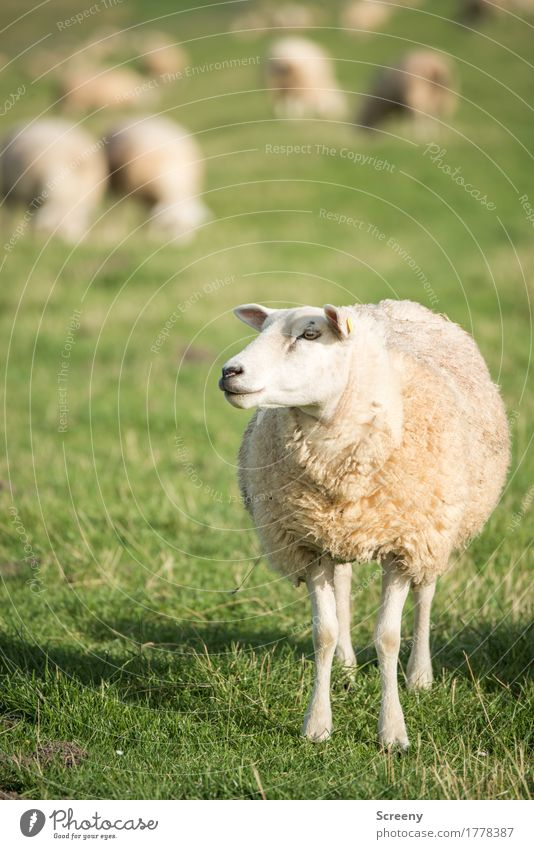 Am I Dolly? Nature Landscape Plant Animal Sun Summer Grass Coast North Sea Dike Farm animal Sheep Flock Herd Stand Serene To feed Agriculture Wool Colour photo
