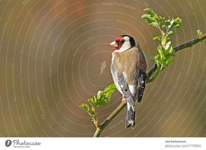 Stieglitz - Bird of the Year 2016 Animal Observe Sit Brown Red Black White goldfinch Finch Carduelis carduelis Mask yellow wing bandage Colour photo
