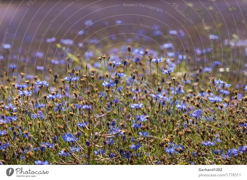 Cornflowers against the light Nature Plant Field Relaxation Meadow Sunlight Back-light Blue Summer Harvest Colour photo Exterior shot Detail Central perspective