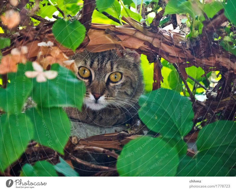 Jungle Tiger jungles Cat Hydrangea covert Hide Curiosity inquisitorial leaves Nature Eyes Ambush Animal Looking Pelt Pet Cute Exterior shot Observe Domestic cat