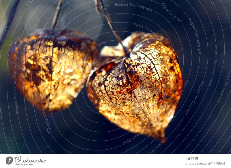 physalis Plant Autumn Agricultural crop Physalis Garden Park Hang Illuminate To dry up Exotic Beautiful Dry Blue Brown Yellow Gray Orange Black White