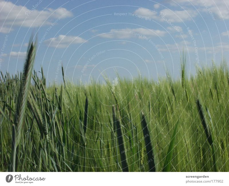Nature Sky Green Blue Plant Summer Grass Landscape Field Environment Gold Large Grain Beautiful weather Know Foliage plant