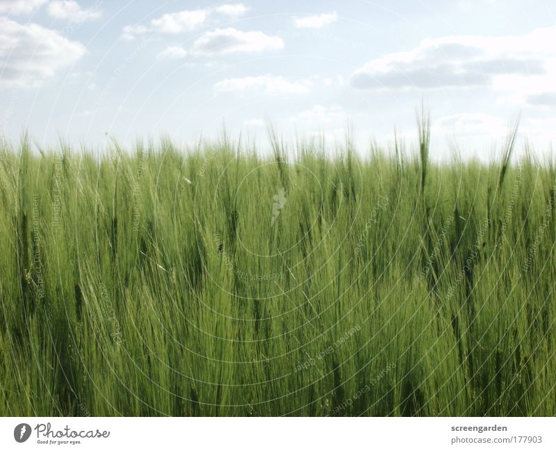 Nature Plant Summer Calm Landscape Environment Grain Tradition Foliage plant Grain field Agricultural crop