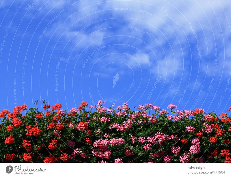 geraniums Colour photo Exterior shot Deserted Day Nature Plant Sky Clouds Summer Beautiful weather Warmth Blossom Foliage plant Geranium Fragrance Blue
