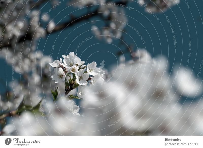 Finally cherry blossoms Colour photo Subdued colour Exterior shot Deserted Copy Space right Day Light Blur Shallow depth of field Nature Sky Spring Plant Tree