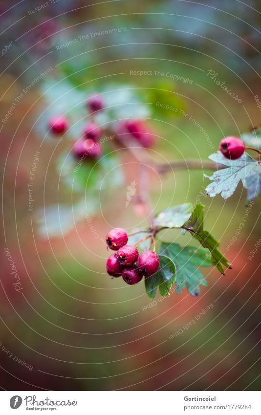 Nature Plant Tree Red Leaf Forest Environment Autumn Berries Mature Autumnal Berry bushes Hawthorn