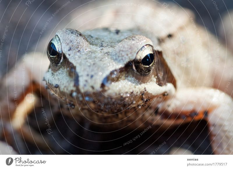 Frog Portrait Animal face Grass frog Pupil 1 Fairy tale Crouch Looking Gold Black Spawn brown frog Exterior shot Close-up Shallow depth of field Animal portrait